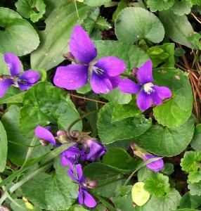 Violets Grpwing Close Up